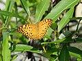 296紅擬豹斑蝶1(李秀玲攝) (31610113302).jpg