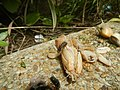 4300Ants of the Philippines Common houseflies 08.jpg