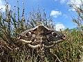 68.001 BF1643 Emperor Moth, Saturnia pavonia, female. (2498039288).jpg