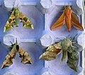 69.001 Four Hawk-moths (3635280840).jpg