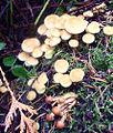 70's mushrooms (4063595184).jpg