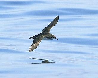 Manx shearwater - In flight
