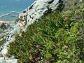 9 Aloe commixta above Kalk Bay harbour2.jpg