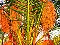 A@a palm Trees Deftera village nicosia cy. - panoramio (5).jpg
