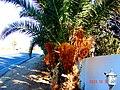 A@a palm Trees Deftera village nicosia cy. - panoramio (9).jpg