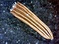 A.integrifolia-cip.-10.jpg