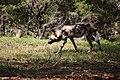 AFRICAN WILD DOG (14004020121).jpg