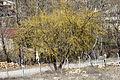 A Cornelian cherry tree - Kızılcık ağacı.jpg