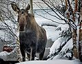 A Moose on the loose.jpg