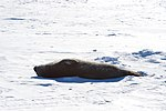 A Weddell Seal Basks in the sun as it Lays on the ice Outside Scott Base, the New Zealand Research Station (30812064152).jpg