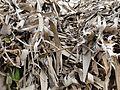 A dried leaves of banana.JPG