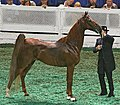 A five Gaited Horse at the 2009 Worlds Championship Horse Show (3930567550).jpg