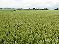 A large field of wheat - geograph.org.uk - 893175.jpg