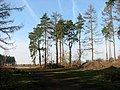 A line of tall trees - geograph.org.uk - 1198911.jpg