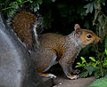 A not so grey Grey Squirrel (7690455404).jpg