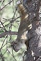 A red squirrel climbing down a tree (6e54ef94-7e02-425d-984e-604379f167b9).jpg