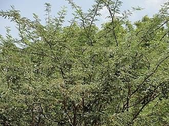 Prosopis juliflora - Invasive P. juliflora in Tamil Nadu, India