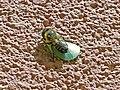 Abeja cortadora de hojas - Megachile centuncularis (13930790626).jpg