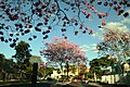 Aberta a temporada de ipês roxos em Brasília (28967970158).jpg