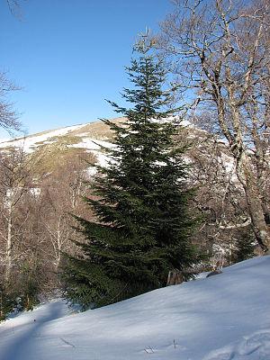 O Tannenbaum - Silver Fir (Abies alba)