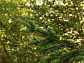 Abies alba foliage brush type of south-eastern europe.JPG