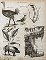 Above, an ostrich, a water ouzel and a chordate; below, a sp Wellcome V0020676EL.jpg