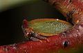 Acacia Horned Treehopper 17-03-04 2 crop (33085459562).jpg