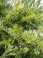 Acacia boormannii (16758966899).jpg