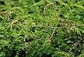 Acacia pennata in Anantgiri, AP W IMG 8795.jpg