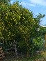Acacia saligna 001.JPG