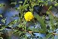 Acacia tortuosa 5zz.jpg