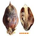Acanthus mollis capsula.jpg