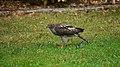 Accipiter nisus - Sparrow Hawk, Olfen, Germany.jpg