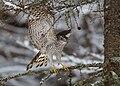 Accipiter nisus 3 (Martin Mecnarowski).jpg