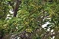 Acer buergerianum in Eastwoodhill Arboretum (2).jpg