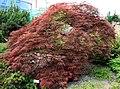 Acer palmatum Liberec 1.jpg