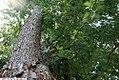 Acer saccharinum 14zz.jpg