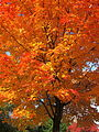 Acer saccharum (sugar maple) (10656892444).jpg
