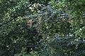 Acer tataricum 01(js) Lodz (Poland).jpg