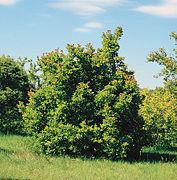 Acer tataricum tree.jpg