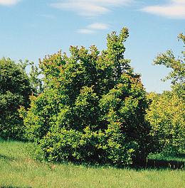 Acer tataricum tree