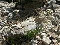 Achillea atrata PID1726-4.jpg