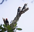 Acorn woodpeckers on Angel Island (40104).jpg