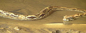 Description de l'image Acrantophis madagascariensis.jpg.