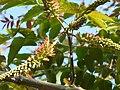 Acrocarpus fraxinifolius (2196031374).jpg