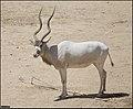 Addax-Jerusalem-Biblical-Zoo-IZE-504.jpg
