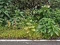 Adelocaryum coelestinum (Lindl.) Brand (5085642569).jpg