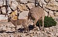 Adult female and juvenile Nubian ibex (40364).jpg