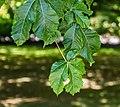 Aesculus × carnea in Christchurch Botanic Gardens 01.jpg
