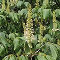 Aesculus parviflora-IMG 5979.jpg